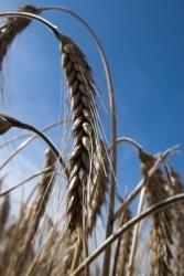 Erntedankfest: 49,3 Millionen Tonnen Getreide geerntet