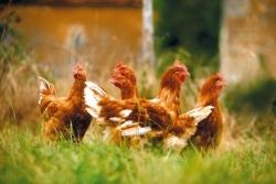 Anstieg der Exportzahlen von Label-Rouge-Geflügel nach Deutschland
