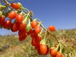 Obstabteilungen: Frische Goji-Beeren nun wieder erhältlich