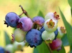 Heidelbeere zur Frucht des Jahres 2015 auserkoren
