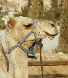 Kamel-Burger: beliebtes Fast-Food in Saudi-Arabien