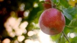 ZDF-Reportage: Der Apfel als Lifestyle-Produkt