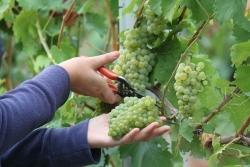 Frühester Termin aller Zeiten: Weinlese beginnt bereits jetzt