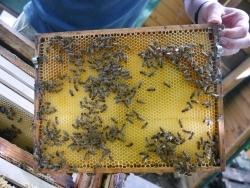 FH Münster: Fachbereiche untersuchen Honigbienen