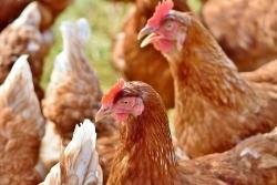 Eierproduktion: Legehennenhalter versorgen Millionen Haushalte