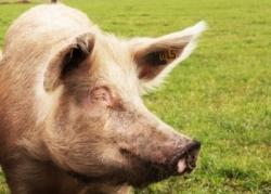 Dioxin jetzt auch in Schweinefleisch